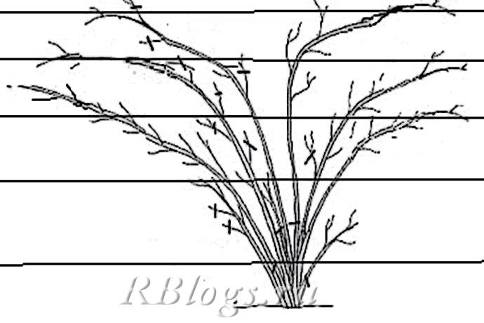 Схема расположения побегов плетистой розы