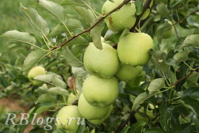 Сорт яблони Аркад желтый