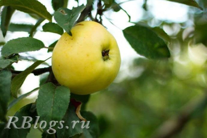 Сорт яблони Челкаш
