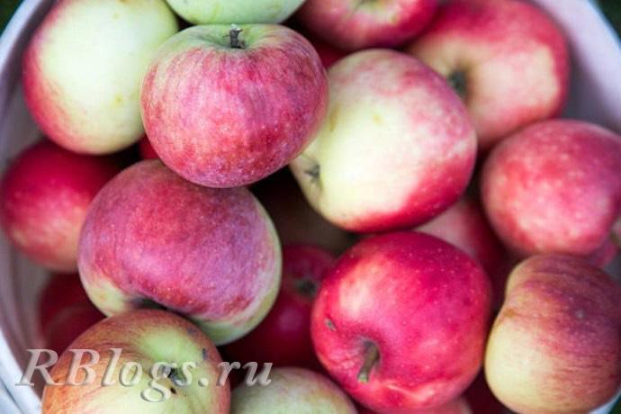 Сорт яблони Марат Бусурин