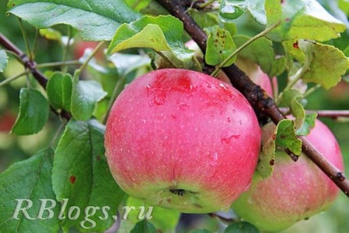 Сорт яблони Аркад розовый