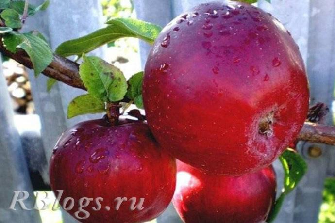 Сорта яблони Красное раннее