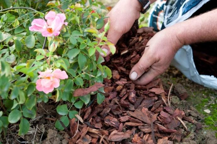 Мульчирование почвы вокруг розы