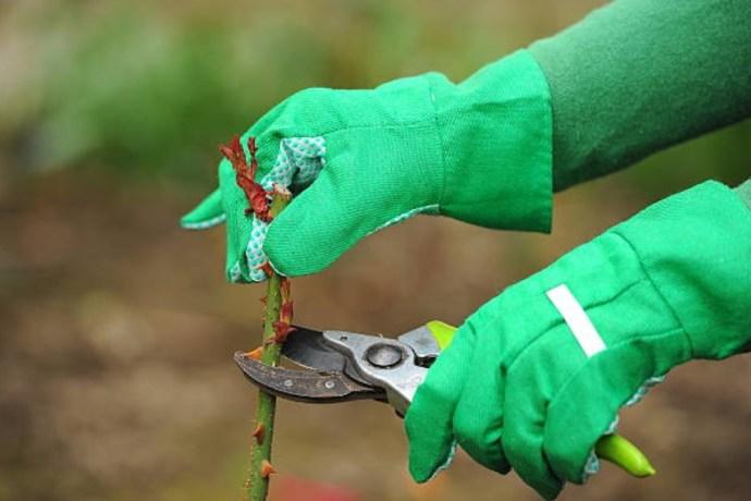 Подготовка саженцев роз к посадке - укорачивание